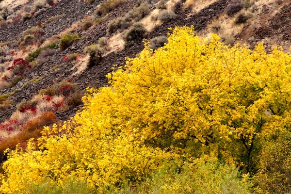 Autumn Trees in the Desert, Kittitas County, Washington, 2013