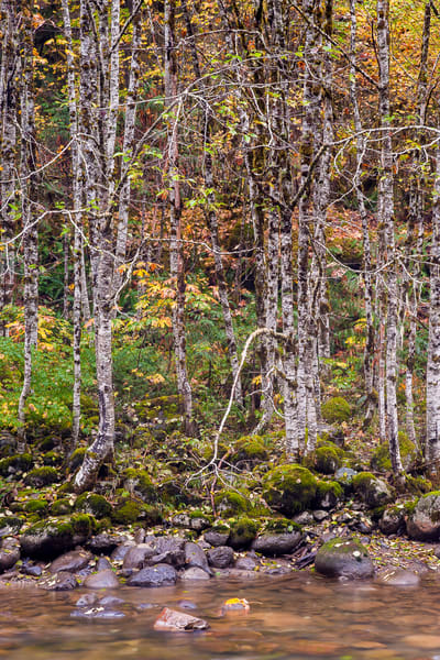 Autumn Trees, South Fork Sauk River, Washington, 2015