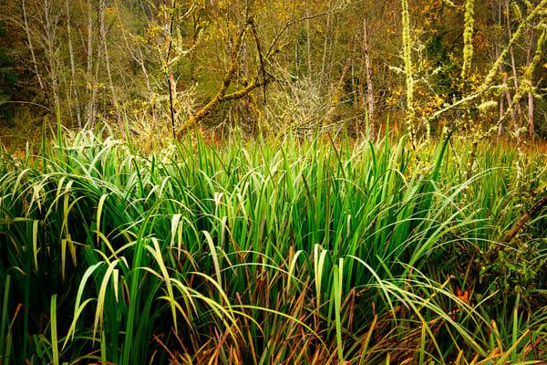 Autumn Swamp Grass, Flaming Geyser State Park, Washington, 2013
