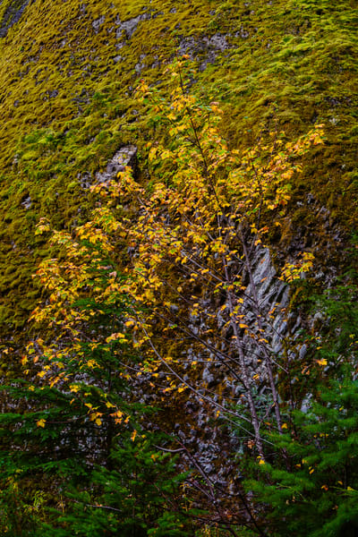 Autumn Vine Maple, Greenwater, Washington, 2016