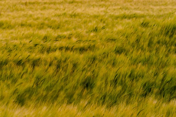 Barley Field No. 2, Whidbey Island, Washington, 2016