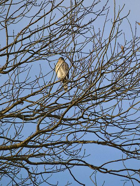 Cooper Hawk on Oak Tree
