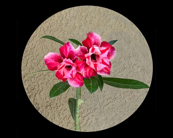 Desert Rose Photography Art | It's Your World - Enjoy!