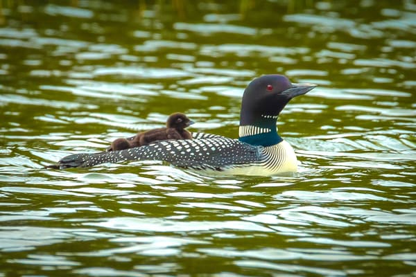 Loon Family Photography Art | Monteux Gallery