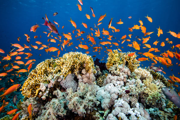 Bright orange anthias swim over a coral bommie in this beautiful fine art photograph for sale.