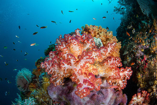 Colorful soft coral provides shelter to reef fish in this beautiful fine art photograph for sale.