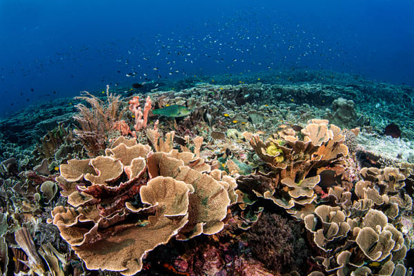Cabbage coral creates a safe home for hundreds of reef fish in this fine art photograph for sale.