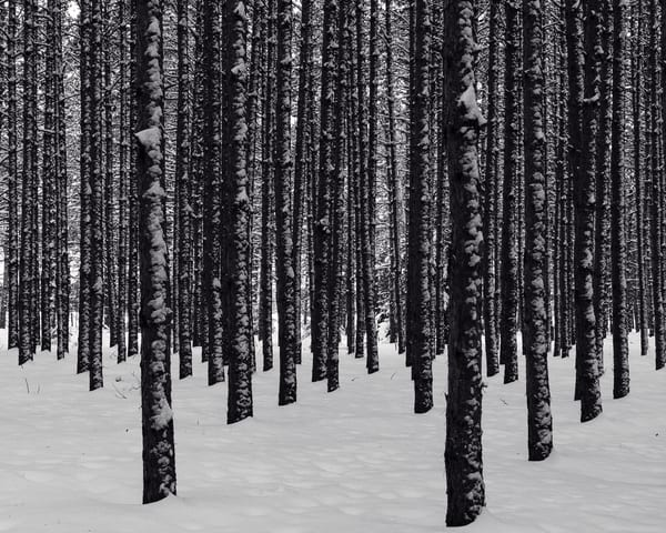 Tree Farm III bw, by Jeremy Simonson