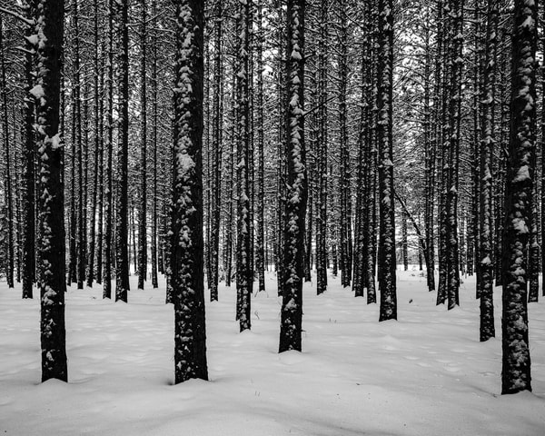 Tree Farm II bw, by Jeremy Simonson