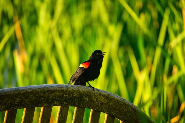 Redwing Blackbird Photography Art | Paul J Godin Photography