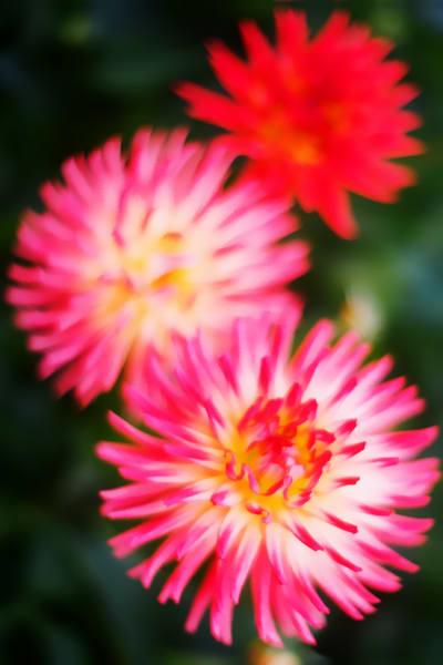 Gollden Gate Park Flowers Photography Art | David Louis Klein
