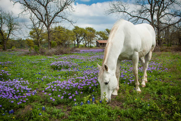 Horse Browsing In Verbena Photography Art | Michael Penn Smith - Vision Worker