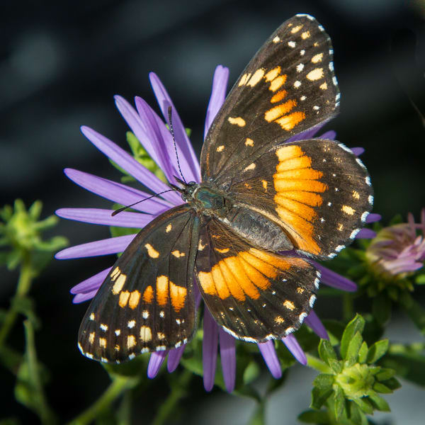 Butterfly On Purple Flower Photography Art | Michael Penn Smith - Vision Worker