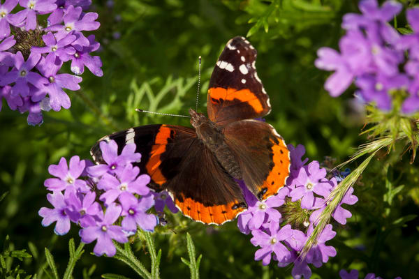 Butterfly In Verbena Photography Art | Michael Penn Smith - Vision Worker