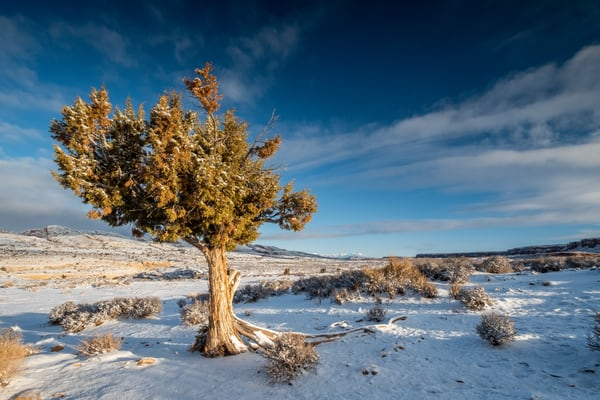 Cedar Tree In Winter At Sunset, Butler Wash Photography Art | John Gregor Photography