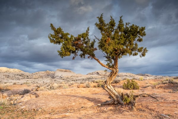 Cedar Tree And Comb Ridge Photography Art | John Gregor Photography