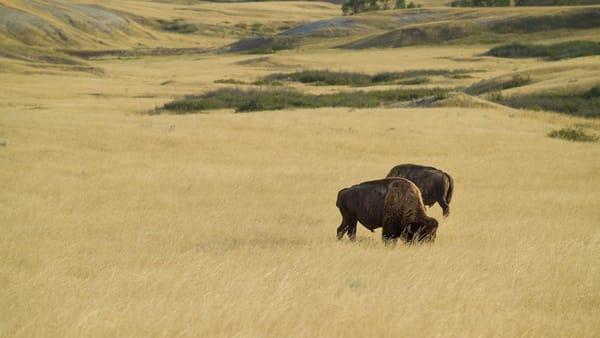 Grazing Bison 3603 Photography Art | Eric Hatch