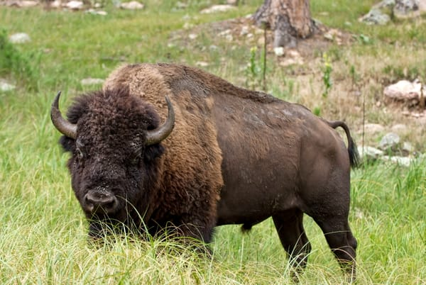 Dscf4845custer Bison Photography Art | Eric Hatch