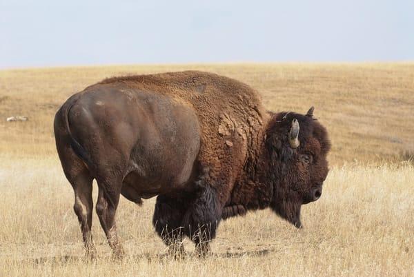 Bison Portrait 4 Color  4575 Photography Art | Eric Hatch