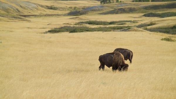 Bison Portrait 4 Color  3603 Photography Art | Eric Hatch
