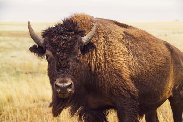 Bison Portrait 4 Color  3695 Photography Art | Eric Hatch