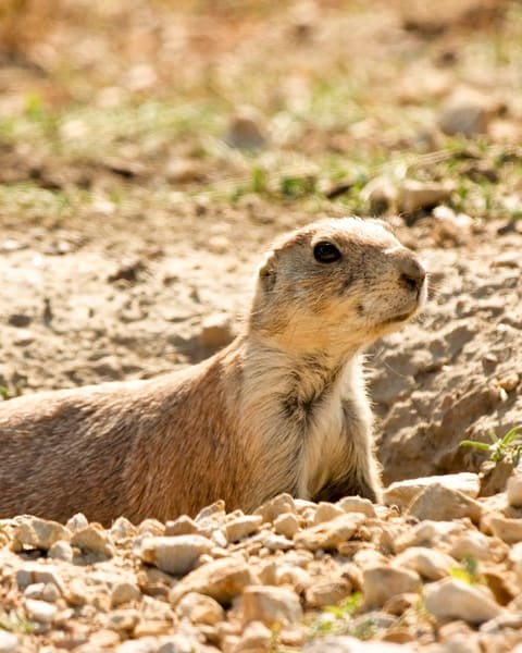 Prairie Dog Alert! Photography Art   Hatch Photo Artistry LLC