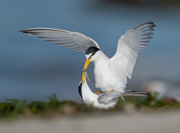 Least Terns Courting Photography Art | Sarah E. Devlin Photography