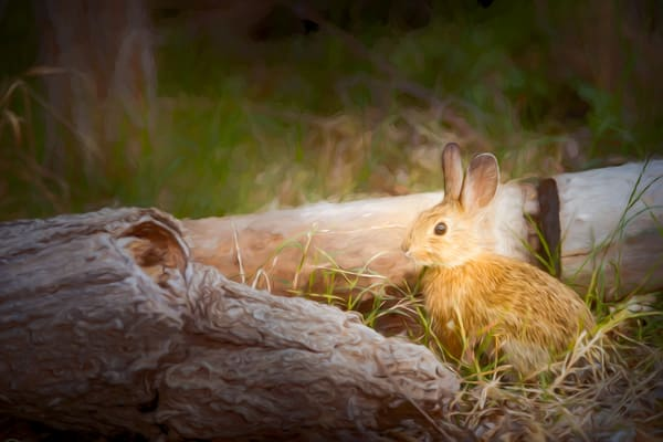 Texas Hill Country Bunny   Digital Painted Photograph Photography Art | Grace Fine Art Photography by Beth Sheridan