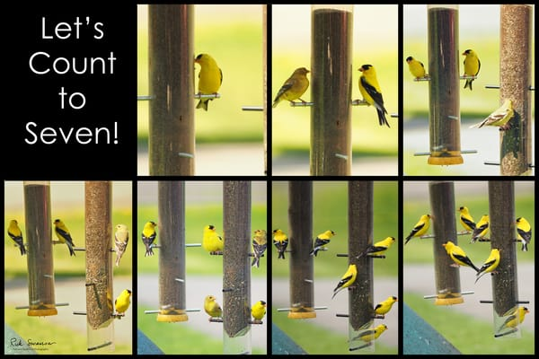 Counting Goldfinches