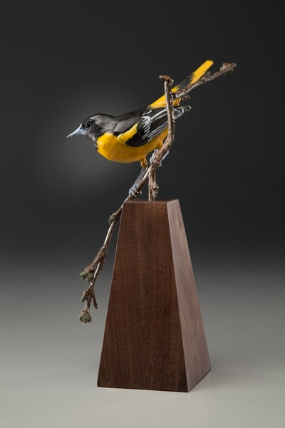 """""""Sunshine And Shadows""""   Baltimore Oriole On Budding White Oak Branch Art 