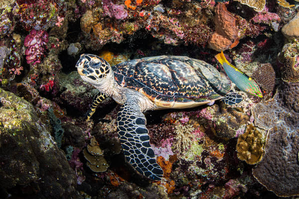 A juvenile turtle pausing to rest on a coral wall is available as a fine art photograph for sale.
