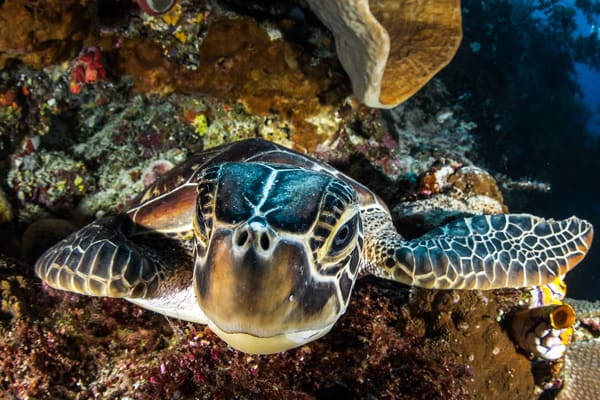 Up close in the face of a young green sea turtle is an underwater fine art photograph available for sale.