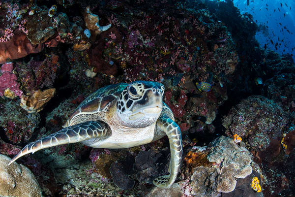 Turtle Resting On A Ledge underwater is a fine art photograph available for sale.