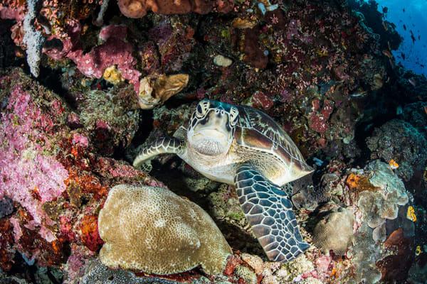 Resting Turtle on a coral reef is a fine art photograph available for sale.