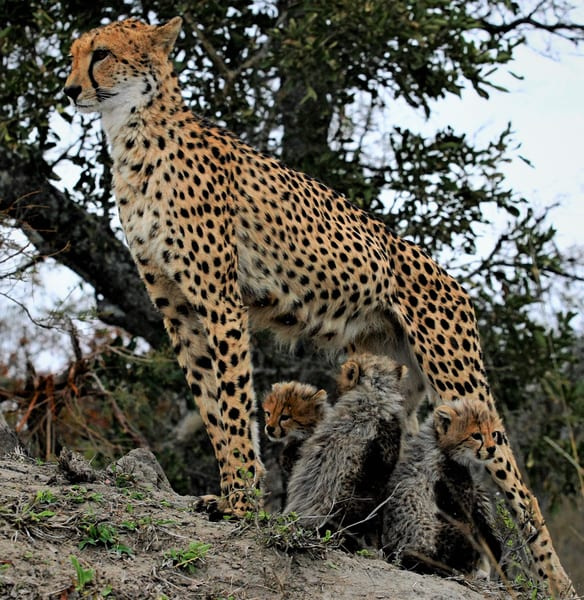 Cheetah Mom And Cubs 2 Art | DocSaundersPhotography