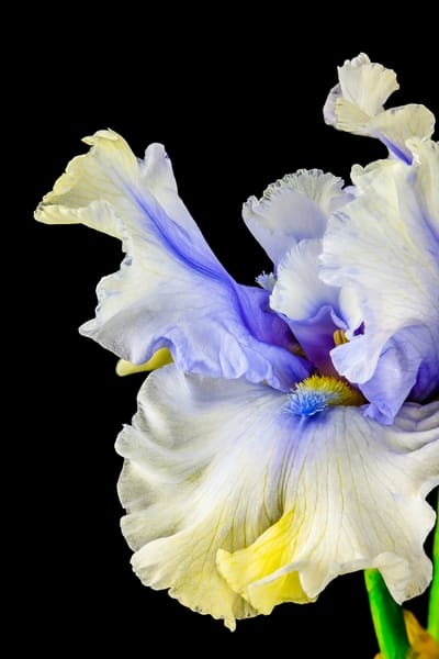 Iris Dancing Photography Art | Whispering Impressions