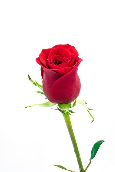 Rose Red Stem White Bk  Photography Art | Whispering Impressions