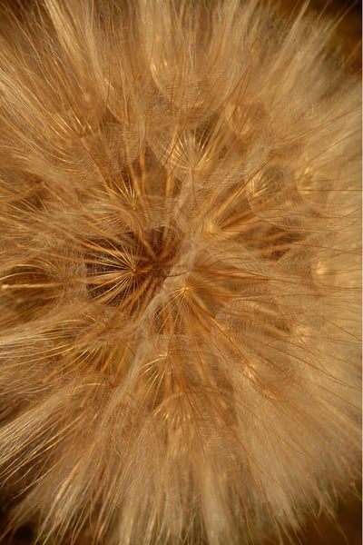 Salsify Photography Art | Whispering Impressions