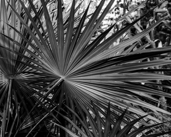 Fronds in Black and White - Art Print - Tamea Photography