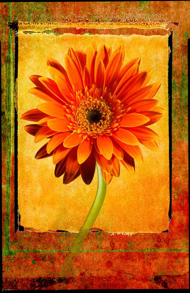 Photo-Illustration of a Gerbera Daisy. A photo composite of multiple photographs.