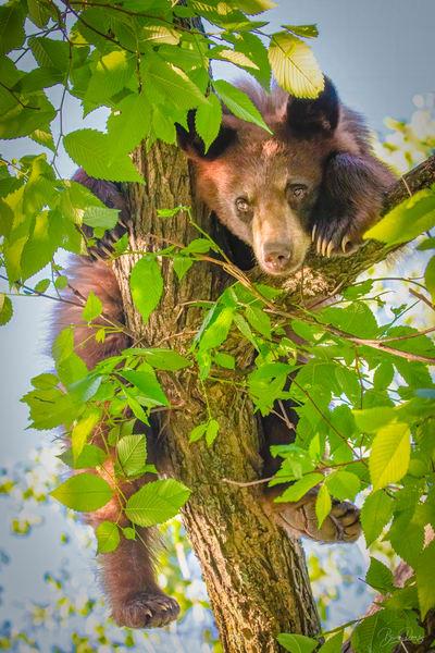 Black bear , bear cub, relaxation