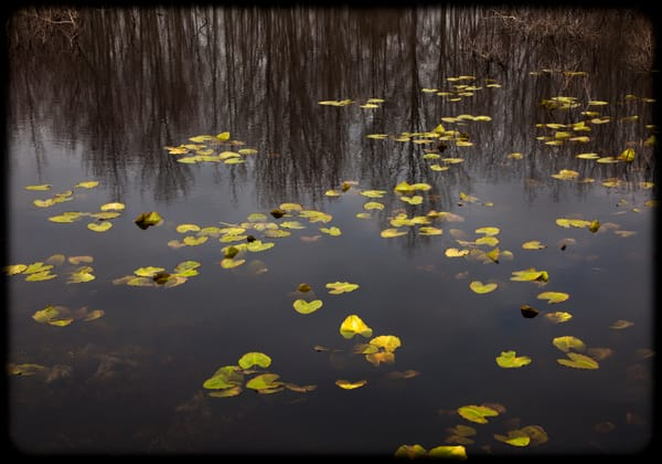 Spring Lilly Pads Photography Art | David Frank Photography