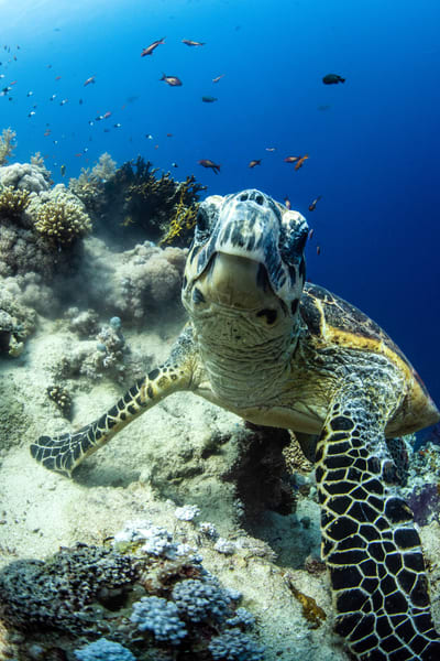 A photograph of a turtle pausing in its swim under the sea is a fine art underwater image for sale.