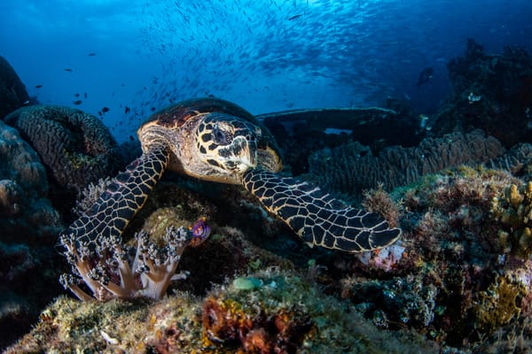 Hawksbill Turtle under a blue sea of schooling fish is a fine art photograph available for sale.