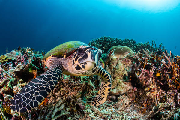 A photograph of a turtle feeding on a coral reef with moss on its back is available as fine art for sale.