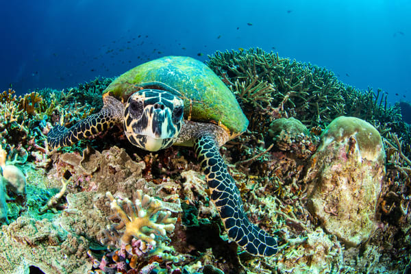Looking at You is a fine art photograph of a turtle swimming underwater on a coral reef available for sale.