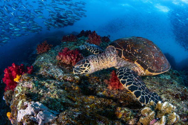 A hawksbill turtle grazing on a soft coral reef is an underwater fine art photograph for sale.