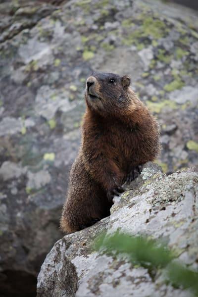 Marmot Jenny Lake Art | DocSaundersPhotography