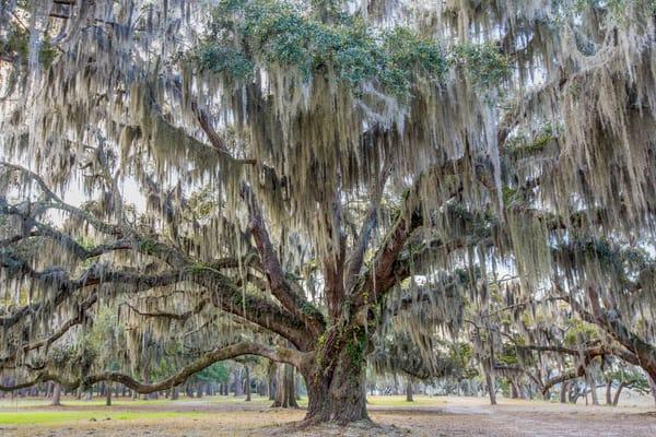 The Whitehall Oak