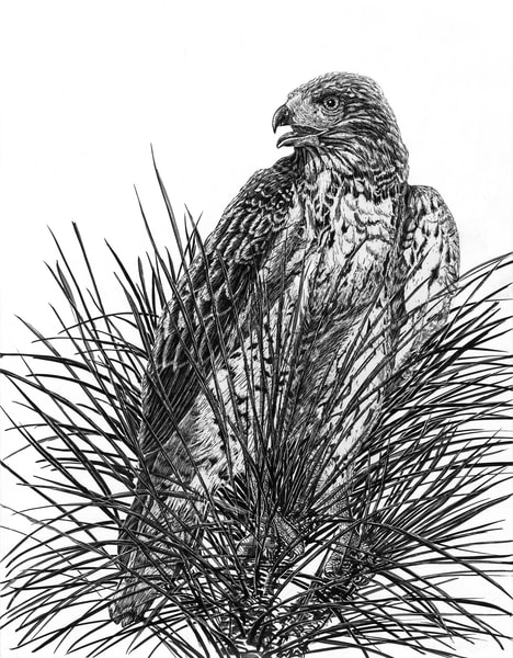 """""""Top Of The Pine""""   Red Tailed Hawk Art 